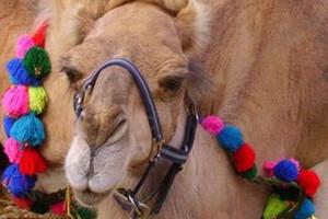 dromadaire chameau promenade enfants mariage